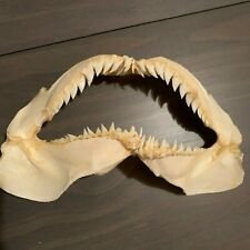 "7 3/4"" Snaggletooth Shark Jaw Hemipristis elongata RARE! Free Priority Shipping!"