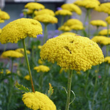 "Achillea ""Moonwalker"" Seeds Golden Yellow Aromatic Flower Good Cut Flower Hardy"