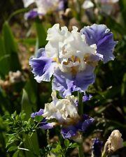 *Recurring Delight* Tall Bearded Iris rhizome. Freshly Dug, Combined Shipping