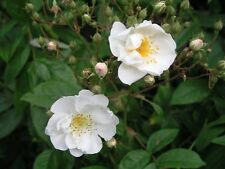 Bobby James, Rambling Rose,Heavy Clusters Of Small Scented,Semi-Double Flowers
