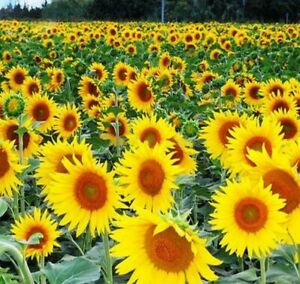 Sunflowers (Happy Face Yellow) - 10 Seeds - easy to grow > great for kids >Dwarf
