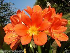 HOT PROMO DISCOUNT 1 Pcs ORANGE Clivia Flower Seed Rare Flower Kaffir Lily