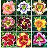 100 Pcs/Bag Hybrid Daylily Seeds Bonsai Flower Hemerocallis Lily Indoor Plant Po