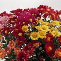 Kings Seeds - Chrysanthemum Korean Glorious Mixture - 200 Seeds