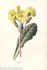 Botanical Print Vintage, F Edward Hulme, Lithograph, Oxlip, Primrose, 1890