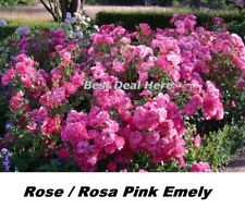 Seeds Rose Rosa Pink Emely Kordes 15 Seed Hardy Fragrant Receive ADR VERY RUSTIC