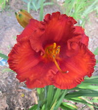 Daylily Flaming Tongues double fan