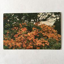 Flame Azalea Southern Appalachian Mountains Unposted Postcard