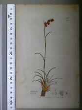 English Botany, Smith, Sowerby, handcoloured copperplate, 518, 3.Edition, 1850.
