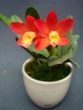 Rlc. Chian-Tzi Goldenorange 'Golden Boy'. Mini Cattleya Orchid Plant.In Sheath.