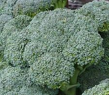 Broccoli Seeds- Waltham Heirloom- 500+   2015 Seeds    $1.69 Max. Shipping/order