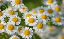 New listing Feverfew, Perennial Plant, 250 Seeds. Free Shipping! Hardiest plant I know