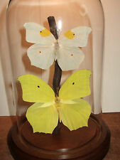 Angled-Sulphur Butterfly Dome