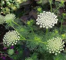Ammi visnaga Green Mist | Toothpick Weed | 50_Seeds FREE SHIPPING TO US