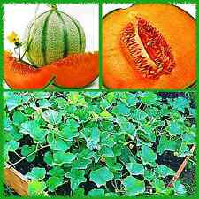 "50+ Charentais, ""NON~GMO"" French Heirloom Cantaloupe~Melon Seeds, Juicy & Sweet."