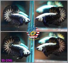 [TI-2761] Live Betta Fish Premium Grade HMPK Male Black Samurai - USA Seller
