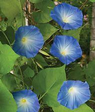 Heavenly Blue Morning Glory Ipomoea Purpurea✿100 Seeds✿Large Flowers✿15 Ft Vines