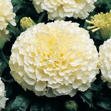 35+ American Eskimo Marigold Flower Seeds / Annual