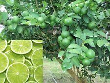 Thai Organic Key Lime Seeds Citrus Aurantifolia Lemon Seeds Fruit 100 Seeds