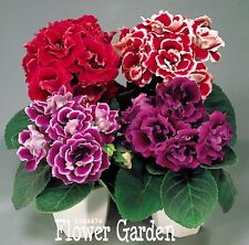 100 pcs 9 Colors Gloxinia Seeds Perennial Flowering Plants Sinningia Speciosa
