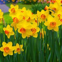 100 Pcs Seeds Daffodil Flowers Bonsai Plants Not Narcissus Bulbs Home Garden NEW