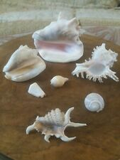More details for large conch shell, medium conch shell & 5 more smaller attractive shells