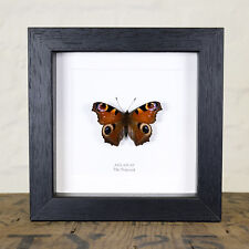 The Peacock Butterfly in Box Frame (Aglais io)