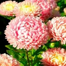 Aster - Peony Duchess- Pink- 50 Seeds- BOGO 50% off SALE