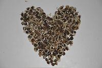 100 Moringa Oleifera Samen, Meerrettichbaum, Behen, Baum des Lebens, keimfähig