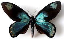 Ornithoptera victoriae victoriae male. TWO FORMS NICLASI+LANIELI.  VERY RARE!