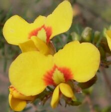 BACON AND EGGS Pultenaea villosa native yellow & red flowers plant in 140mm pot
