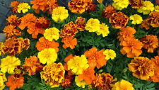 Sparky Mix  Marigold 30 SEEDS BOLD COLOR! COMB. S/H SEE OUR STORE