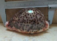 Cypraea pantherina 89 mm F++++ wow color SUPER natural glossy red sea shell