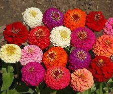 Zinnia Elegans Lilliput Mix 200 seeds Garden Seeds 2u