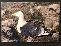Vintage Postcard: Animals Birds: #A70 - Great Black-backed Gull - Dixon