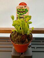 """Venus Flytrap - 3"""" Potted - Carnivorous Plant"""
