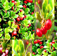 100 PCS Seeds Bearberry Drought Tolerant Garden Plants Fruits Bonsai Rare 2019 N