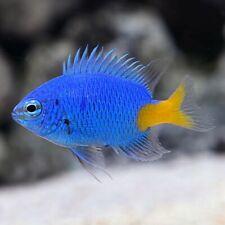 4 X yellow Tail Blue Damsel Saltwater Marine Fish