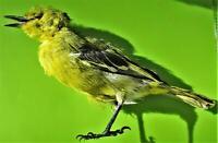 Common Iora Bird Aegithina tiphia Taxidermy FAST FROM USA