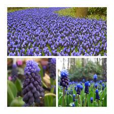 PRE-ORDER -Muscari Latifolium x 100 Bulbs.Grape Hyacinth.Two Toned Spring Flower