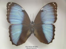 Blue Stripe Morpho - Een echte exotische vlinders in de 3D showcase van hout