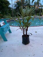Bottle Palm Tree Hyopherbe lagenicaulis Beautiful Tropical Specimen (Double!!)