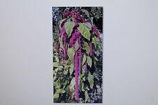 """10 semi/amaranto """"Hopi Red Dye"""", Amaranthus cruentus x powellii, #129"""
