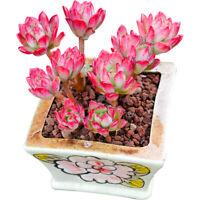 6CM Cluster Succulent Plant Echeveria Minibelle Crassulaceae Home Garden Rare
