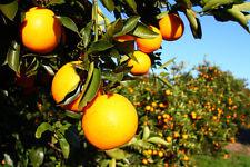 Florida Orange tree (10 seeds) fresh this season's harvest from my garden