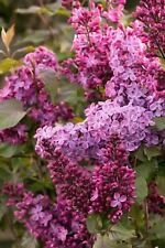 "Lilac Old Glory - Flowering Shrub Live Established Rooted - 3 Plants in 4"" Pots"