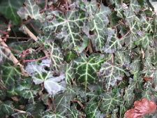 5 X English Ivy Hedera helix bonsai trees winterhardy plant