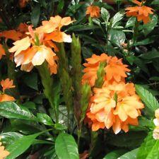Crossandra Infunibuliformis ( FIREGLOW ) Indoor~Unusual flowering shrub~1 Plant
