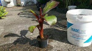 Ensete v Maurellii,Red banana plant,1Lpot30-40cms tall Gorgeous tropical foliage