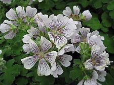 Storchschnabel Geranium renardii Sommerblüher
